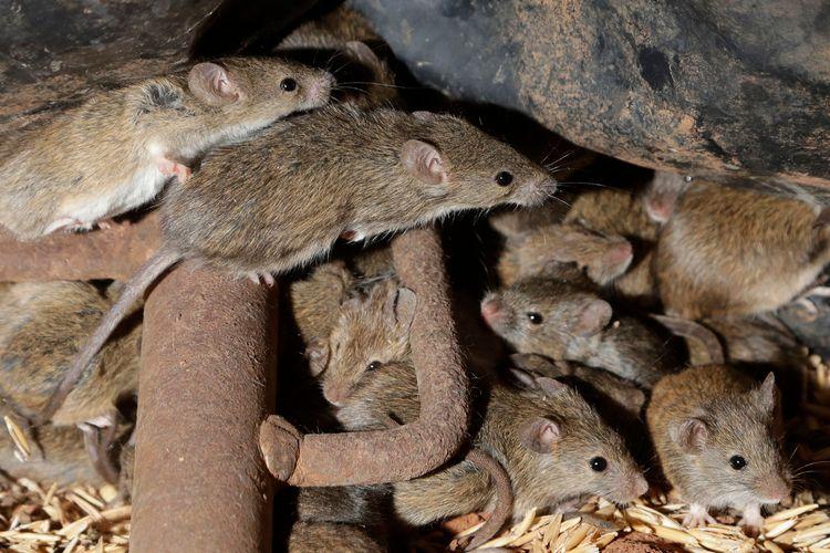 Möss i en silo i Australien.