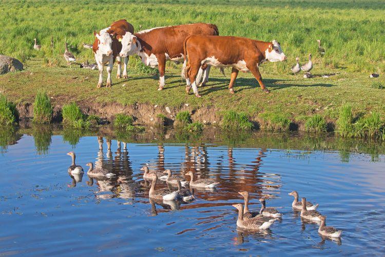 Kossor betar vid vatten.