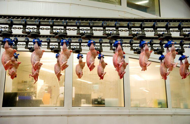 Kycklingar som hänger i band på Kronfågels slakteri.