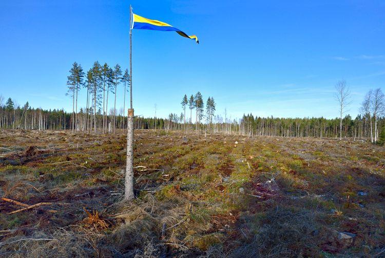 En svensk vimpel vajar över en kalavverkad yta.