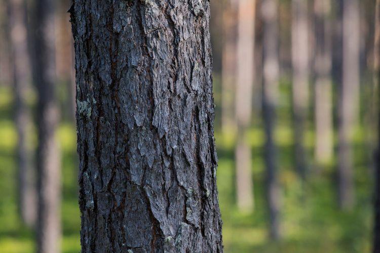 Närbild på träd i skog.