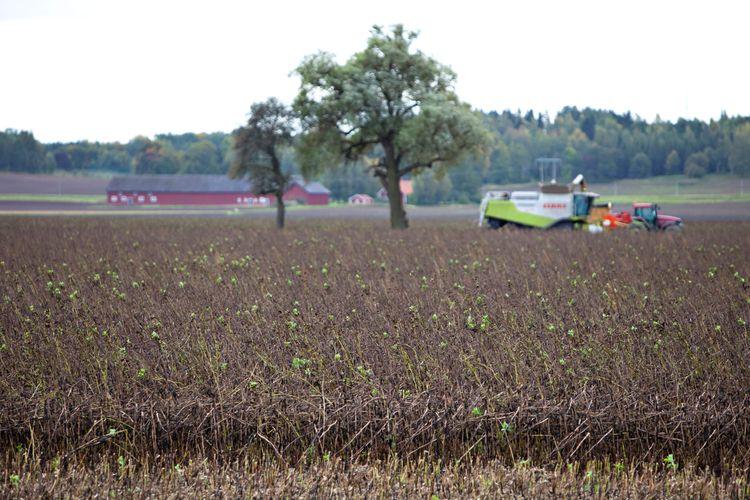 Odlingen av renodlade proteingrödor som ärter och åkerböna tar aldrig riktigt fart.