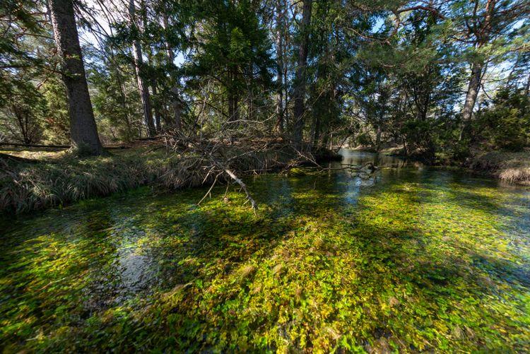 Källan Prosthulet, ett stort källflöde. Naturreservatet Kallgatburg, Hejnum, Gotland.