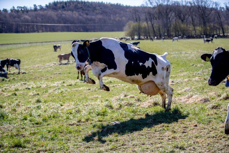 Svart och vit ko tar ett skutt på vårgrön äng.