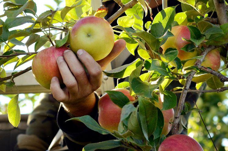 Hand som plockar äpplen från träd.