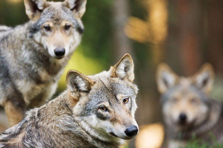 Tre vargar.