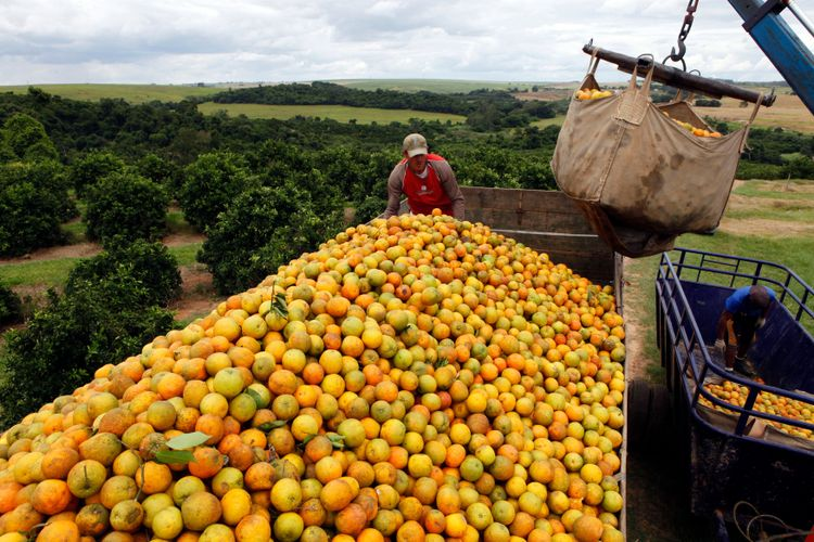 En lastbil lastas med apelsiner på en odling i Limeira i delstaten São Paulo.