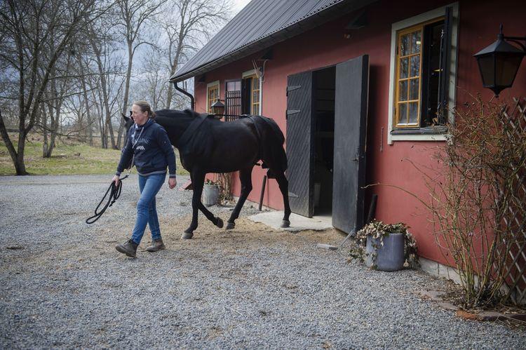 Häst leds ut ur rött stall av man i jeans och jacka.