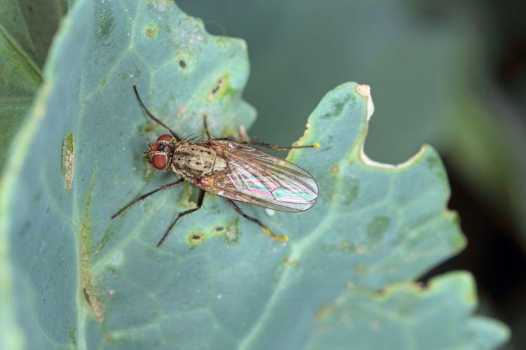 En kålfluga sitter på ett blad.