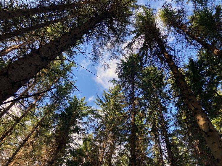 Vy upp mot en glugg blå himmel längst stammarna i en tät granskog.