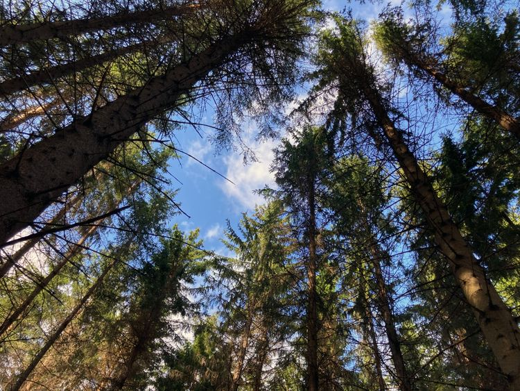 Granskog med blå himmel.