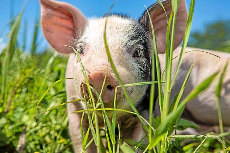 En griskulting i gräs tittar in i kameran.