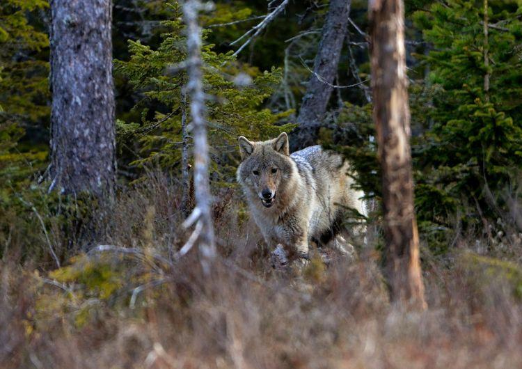 En bild på en varg i skogen.