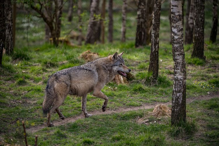 Varg i en skog i Sverige.