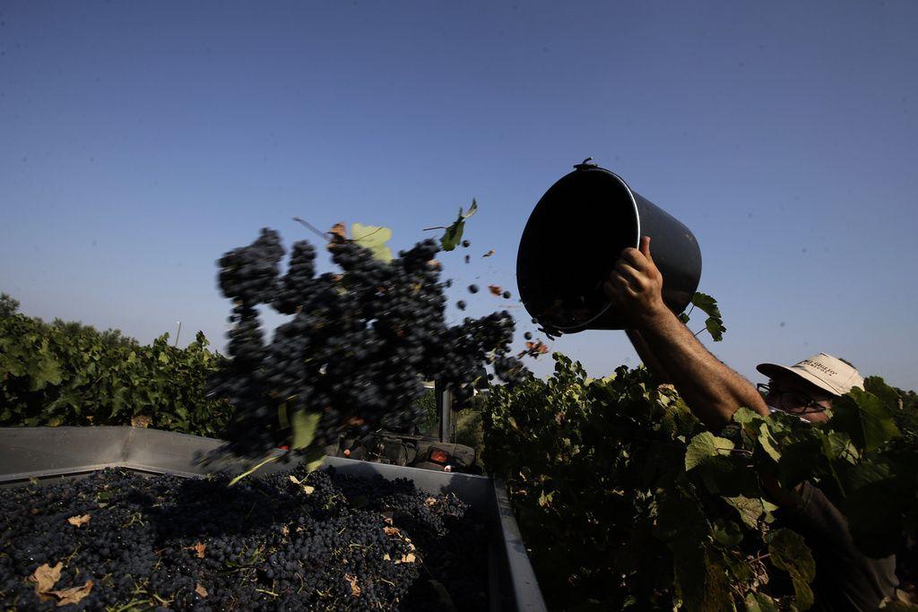 Arbetare skördar vindruvor på en vingård i Italien.