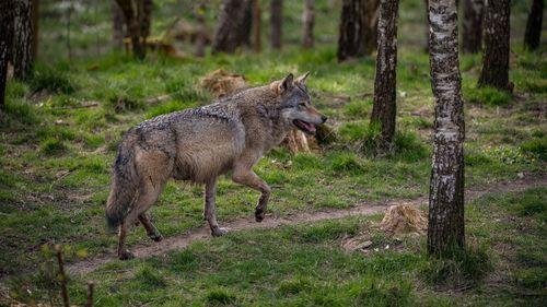 Vargattackerna ökar – går om lodjur