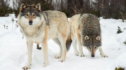 Färre positiva till varg i Sverige