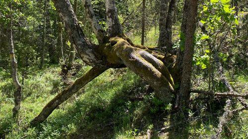 """Skogssällskapet efterlyser bilder på """"knasiga"""" träd"""
