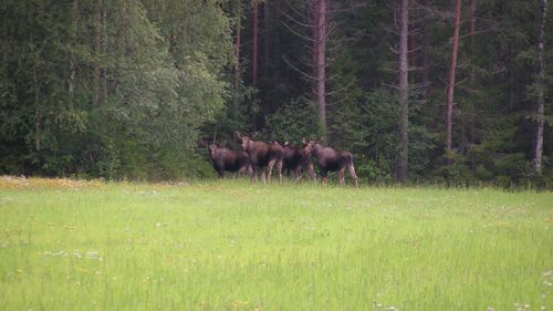 Fortsatt höga viltskador i norr