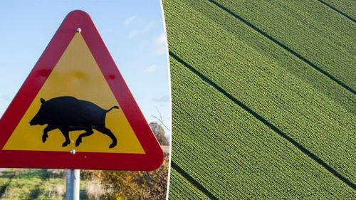 Väljer bort majs efter stora vildsvinsskador