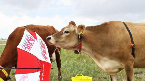 Hur smarta är våra kor?