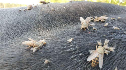 Mycket broms plågar djuren – än är säsongen inte över