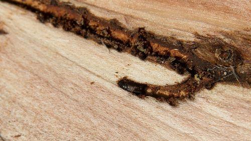 Ny generation barkborrar har börjat svärma