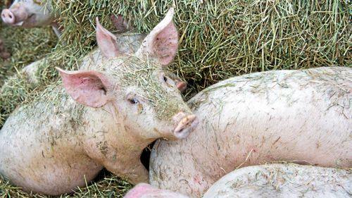 Experter föreslår EU-märkning av djurvälfärd