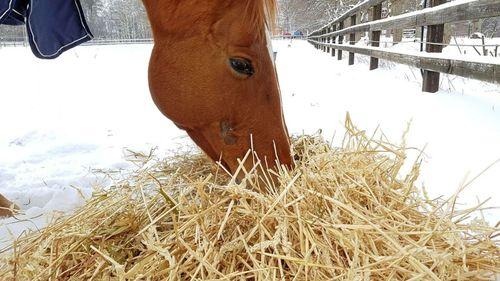 Halm i foderstat leder inte till magsår hos hästar