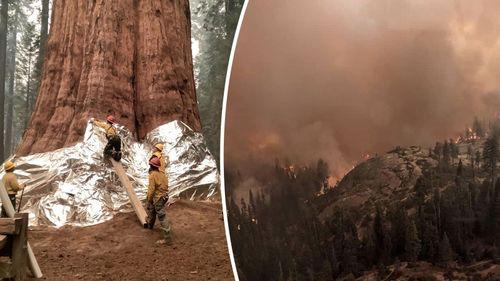 Världens största träd hotat av skogsbrand