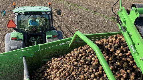 Kraftiga regn i norr hotar potatisskörden