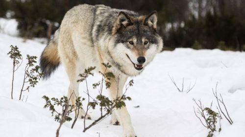 Så många vargar får skjutas i vinterns jakt