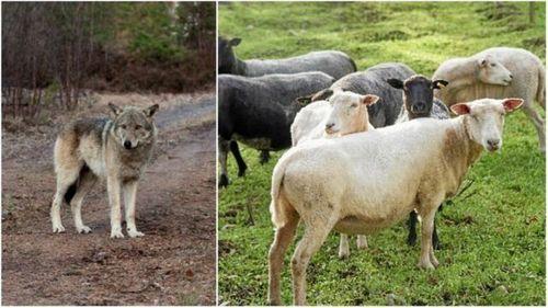 Han förlorade över 40 får efter vargangrepp