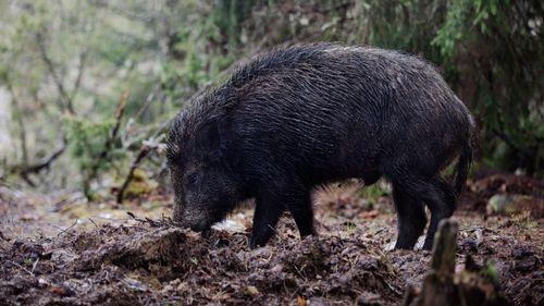 LRF vill ha nollvision mot vildsvin
