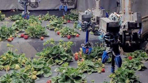 Se roboten skörda jordgubbarna