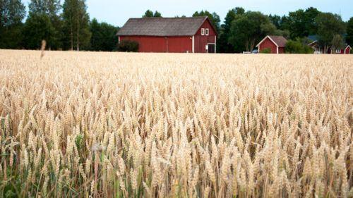 Svenska bönder ska göra tortillas mer hållbara