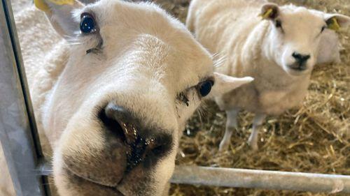 Trenden är bruten – de svenska fåren blir fler