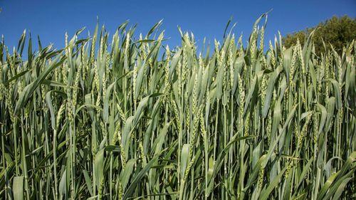 Lägsta lagernivån för vete på fem år