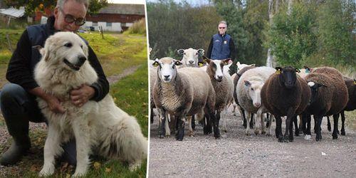 Här skyddar vakthundar fåren från rovdjur