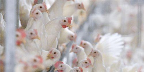 Människa smittad av fågelinfluensa