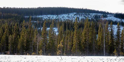 Beskedet: Mer pengar till fjällnära skog