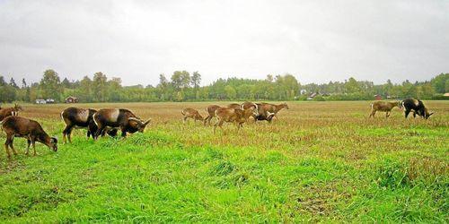 ATL TV: Mufflonfår ett växande problem
